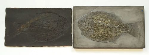 Mould and fossil original Dapedium pholidotum