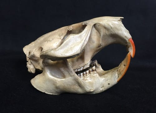 Specimen of the Week 230: The Beaver Skull   UCL Museums