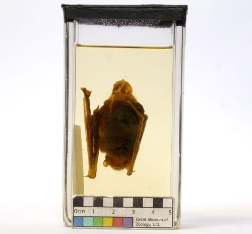 Photograph of the fluid specimen, Pipistrellus pipistrellus