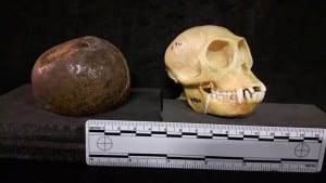 A fur ball (bezoar) from a cow and a macaque monkey skull are surprisingly the same size. (LDUCZ-Z1117 and LDUCZ-Z920)