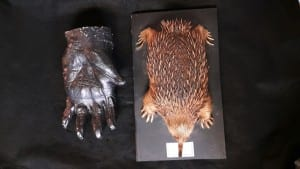 The cast of a gorilla's hand and an echidna (LDUCZ-Z467 and LDUCZ-Z7)