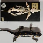 A European mole skeleton and a freeze-dried fire salamander, which have very similar dimensions. surprisingly. (LDUCZ-Z2169 and LDUCZ-W508)