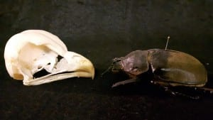 A tawny owl skull and a Hercules beetle are surprisingly the same size (LDUCZ-Y325 and LDUCZ-L3296)