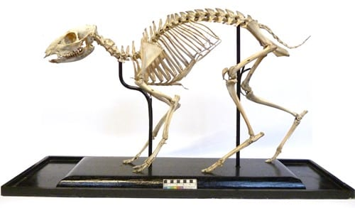 LDUCZ-Z523 Mouse-deer skeleton