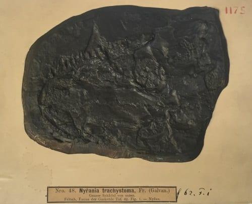 LDUCZ-W385 Cochleosaurus sp.