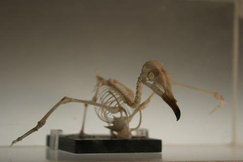 LDUCZ-Y1540_IMG33 - Oceanodromus_leucorhoa-skeleton