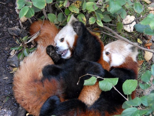 Red panda cubs. Image by Jonathan L Kang; CC BY-SA 2.0; via Wikimedia Commons.