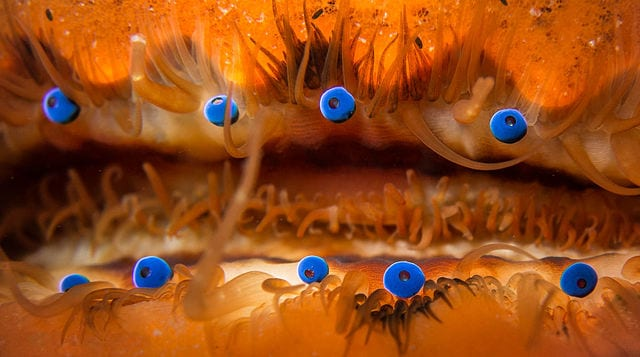 Scallop eyes By Matthew Krummins - https://www.flickr.com/photos/mattkrumins/12341256663/, CC BY 2.0, https://commons.wikimedia.org