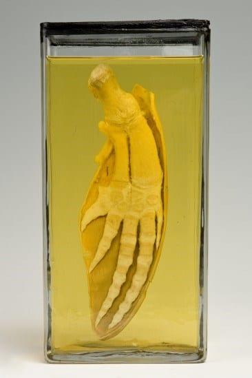 LDUCZ-Z640 - Image of dolphin flipper specimen