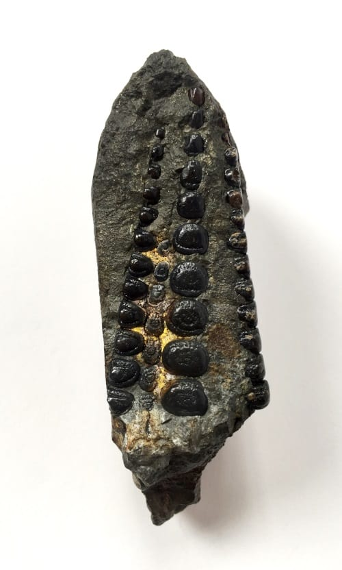 LDUCZ-V1720 Gyrodus cuvieri. Check out the rows of teeth on that one! Again, don't be fooled by the whelming images.