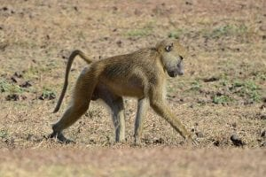 Yellow baboon By Geoff Gallice - http://www.flickr.com/photos/dejeuxx/6086730339/, CC BY 2.0, https://commons.wikimedia.org/w/index.php?curid=18086760
