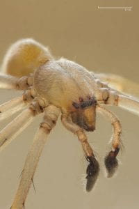 Yellow Sac spider Cheiracanthium mildei by Richard Bartz CC BY-SA 2.5, www.commons.wikimedia.org