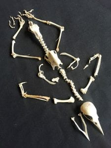 Less bird-of paradise skeleton. LDUCZ-Y1696
