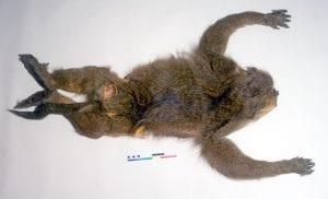 Yellow baboon pelt LDUCZ Z2762