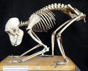 Yellow baboon (Papio cynocephalus) skeleton LUCDZ- Z474