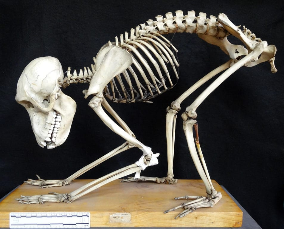 Specimen of the Week 257: Baboon skeleton | UCL Museums ...