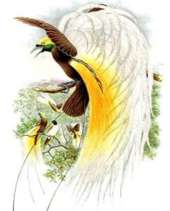 Lesser Bird-of-Paradise by Richard Bowdler Sharpe (1847-1909) (Public Domain)