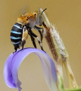 Blue banded bee (Amegilla cingulata) By Chiswick Chap - Own work, CC BY-SA 4.0, www.commons.wikimedia.org