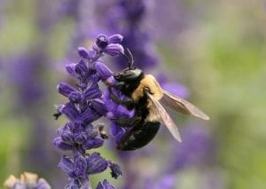 Carpenter bee (Xylocopa virginica) By Daniel Schwen - Own work, CC BY-SA 4.0, https://commons.wikimedia.org/w/index.php?curid=5550855