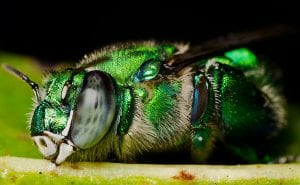 Orchid bee (Euglossa sp.) By Eframgoldberg - Own work, CC BY-SA 3.0, https://commons.wikimedia.org/w/index.php?curid=20312521