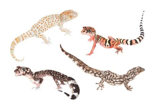 Geckos (C) Clara Lacy