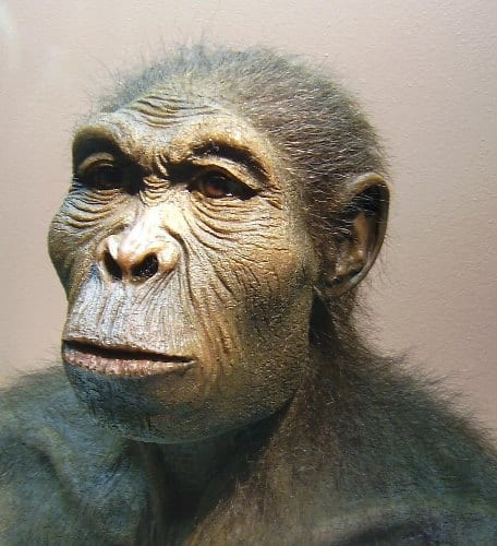 Homo habilis reconstruction