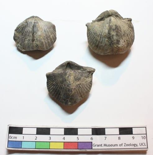 Fossil Spirifer brachiopods LDUCZ-O26