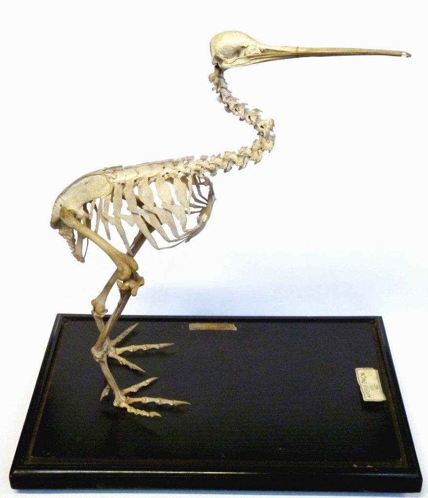 LDUCZ-Y1575 Apteryx owenii