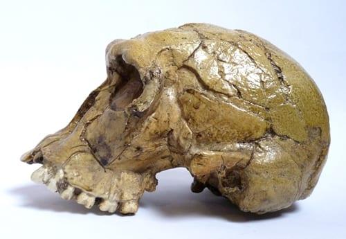 LDUCZ-Z2017 Homo habilis skull model