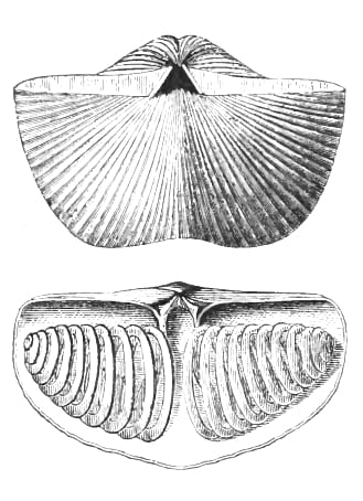 "The inside and outside of the ""top"" (dorsal) shell of a Spirifer brachiopd, including the internal spiral structures which support the filter feeding apparatus and gives the animal their name."