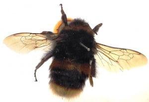 LDUCZ-L3309 Bumblebee (Bombus sp.)