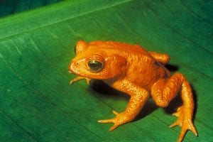 Golden Toad (Bufo periglenes) that was declared extinct in 1989 Charles H. Smithvergrößert von Aglarechderivative work Purpy Pupple (talk) - Bufo_periglenes1.jpgU.S. Fish and Wildlife ServiceUploaded with derivativeFX, Public Domain, https://commons.wikimedia.org/w/index.php?curid=12479490