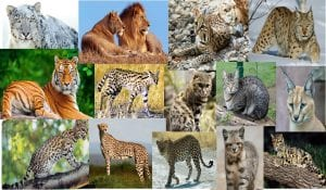 Different species of cats from the family Felidae
