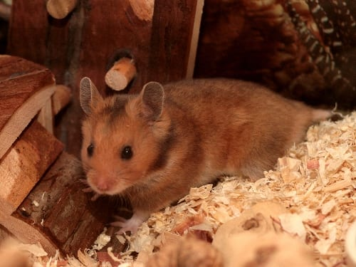 domestic hamster showing wild colouration