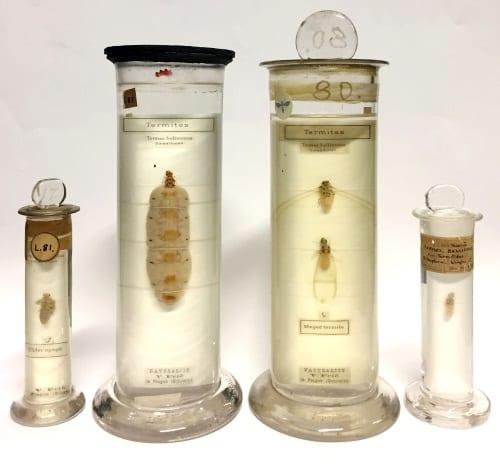 LDUCZ-L81, L87, L84, L83 Macrotermes bellicosus