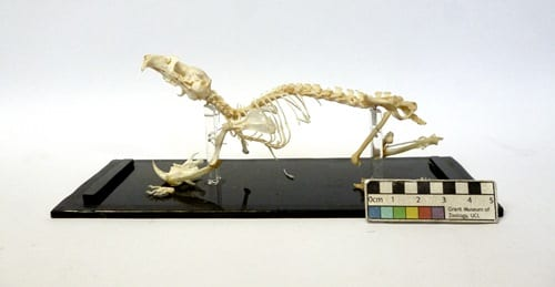 LDUCZ-Z713 golden hamster skeleton