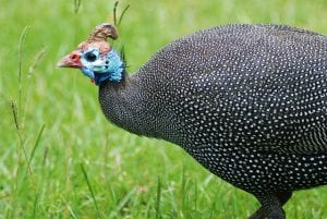 Helmeted guineafowl By Gouldingken - Own work, CC BY 3.0 obtained from wikimedia commons