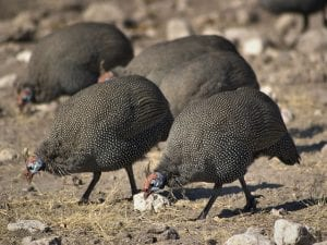 Helmeted guineafowl By © Hans Hillewaert/, CC BY-SA 3.0, obtained from wikimedia commons