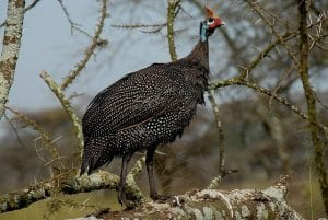 Helmeted guineafowl By Bob - Picasa Web Albums, obtained from wikimedia commons