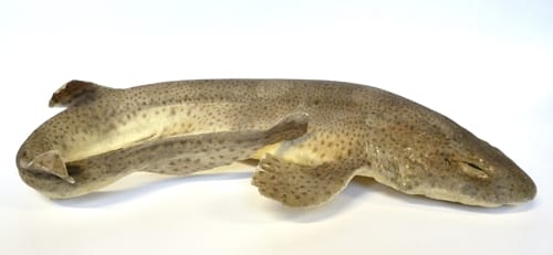 LDUCZ-V1081 lesser-spotted dogfish