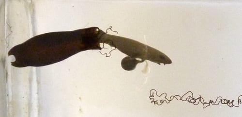 LDUCZ-V1619 section showing hatching juvenile