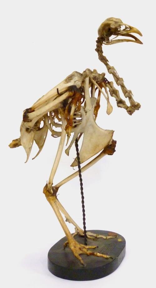LDUCZ-Y99 Helmeted guineafowl skeleton