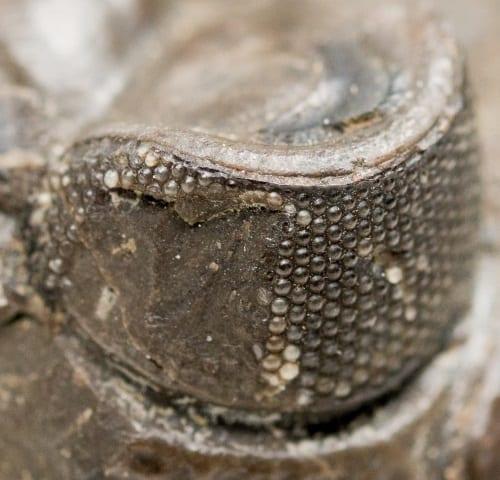 LDUCZ-J422 Dalmanites caudatus Extreme detail of eye