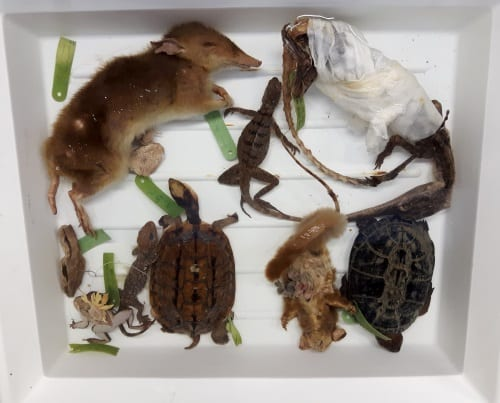Animals removed from the jar during conservation. Armadillo not pictured.