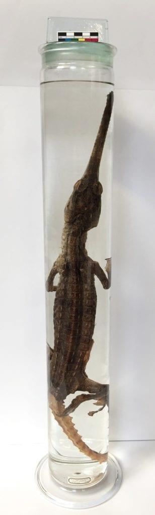 LDUCZ-X1564 Gavialis gangeticus