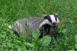 European badger (Meles meles) By kallerna - Own work, CC BY-SA 3.0,