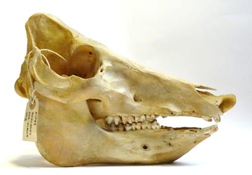 LDUCZ-Z1089 domestic pig skull