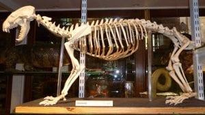 Eurasian badger (Meles meles) skeleton LDUCZ Z372