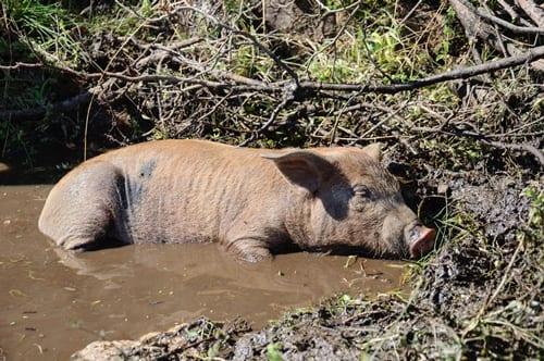 Pig relaxing