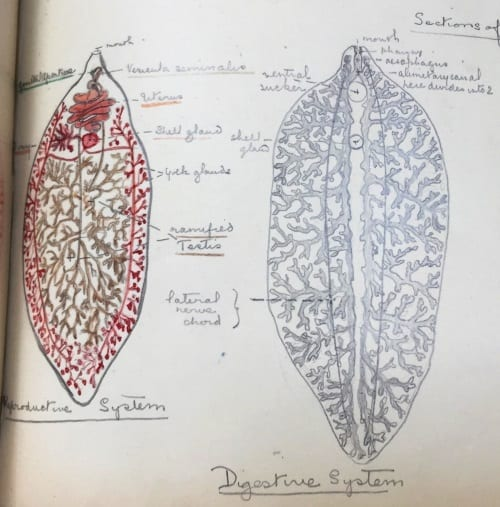 Illustration of LDUCZ-D44 Fasciola hepatica (left) and now lost Fasciola hepatica model (right)